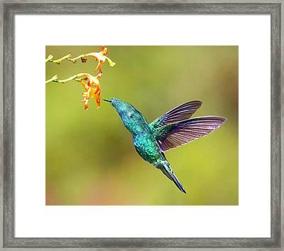 Humhum Bird Framed Print