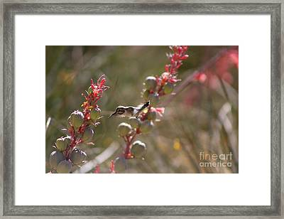 Hummingbird Flying To Red Yucca 1 In 3 Framed Print