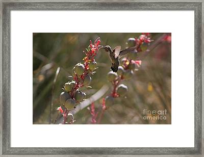 Hummingbird Flying To Red Yucca 3 In 3 Framed Print