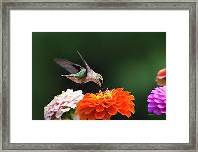 Framed Print featuring the photograph Hummingbird In Flight With Orange Zinnia Flower by Christina Rollo