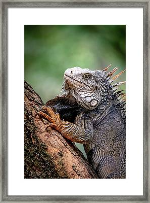 Framed Print featuring the photograph Iguana's Portrait by Francisco Gomez