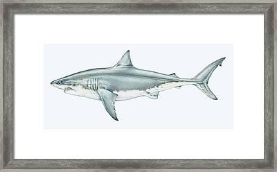 Illustration Of Great White Shark Framed Print by Dorling Kindersley