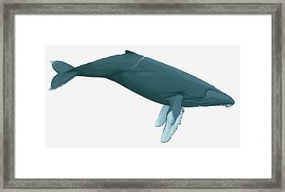Illustration Of Humpback Whale Framed Print by Dorling Kindersley