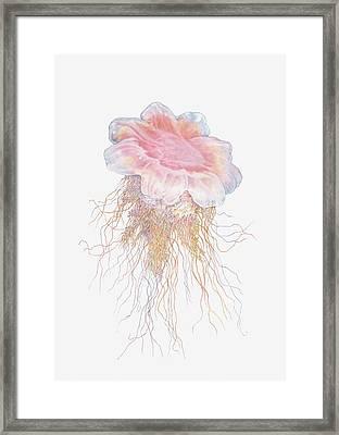 Illustration Of Lions Mane Jellyfish Framed Print by Dorling Kindersley