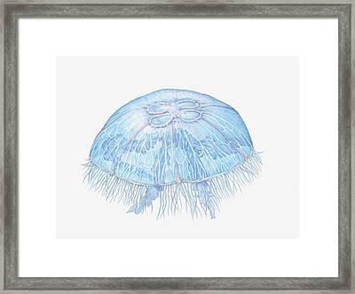 Illustration Of Moon Jellyfish Aurelia Framed Print by Dorling Kindersley