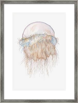 Illustration Of Nomuras Jellyfish Framed Print by Dorling Kindersley