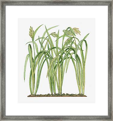 Illustration Of Oryza Sativa Asian Rice Framed Print by Michelle Ross