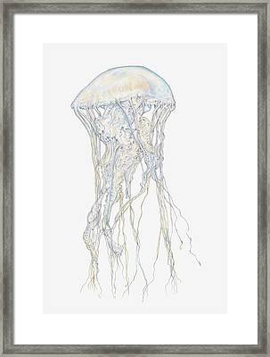 Illustration Of Sand Jellyfish Framed Print by Dorling Kindersley