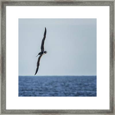 Immature Masked Booby, No. 5 Sq Framed Print