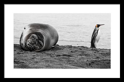 Elephant Seal Framed Prints