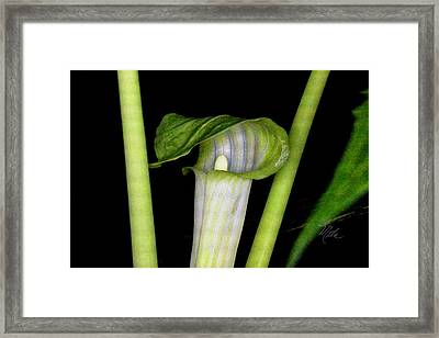 Jack In The Pulpit Framed Print