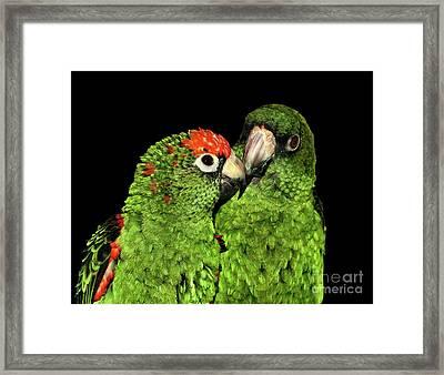 Jardine's Parrots Framed Print