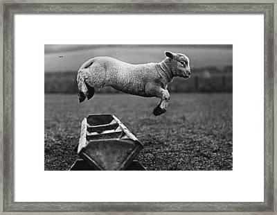 Jumping Lamb Framed Print by Fox Photos