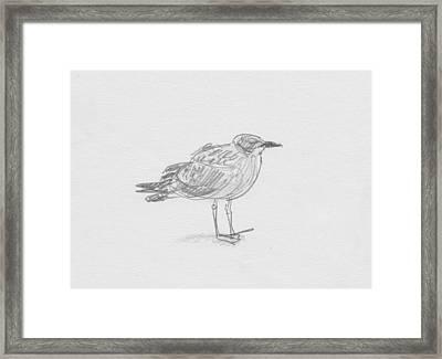 Kelp Gull Framed Print