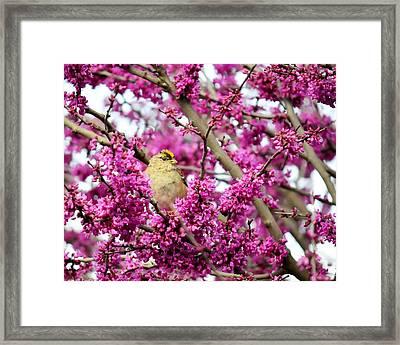 King Of The Redbud - Golden-crowned Sparrow Framed Print