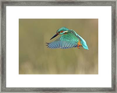 Kingfisher Framed Print by Mark Hughes