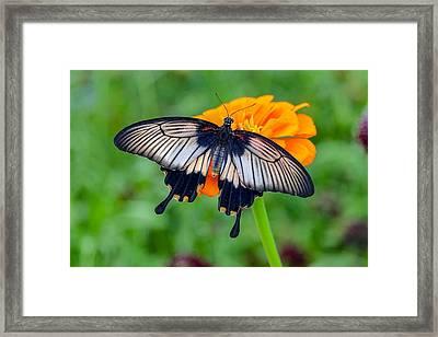 Kite Swallowtail  Framed Print