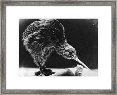 Kiwi Framed Print by Hulton Archive