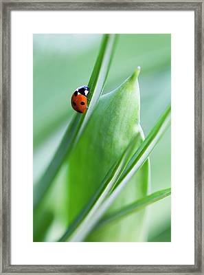 Ladybug Framed Print by Andrew Dernie