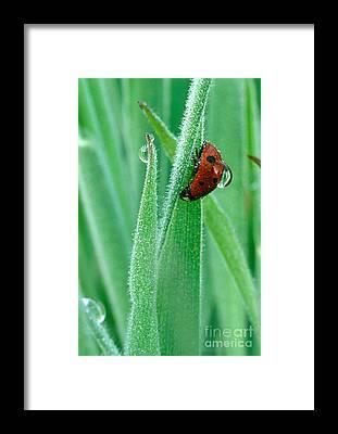 Lady Bug Framed Prints