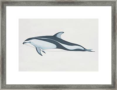 Lagenorhynchus Obliquidens, Pacific Framed Print by Martin Camm