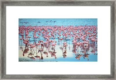 Lake Nakaru Flamingoes Framed Print by Grant Faint