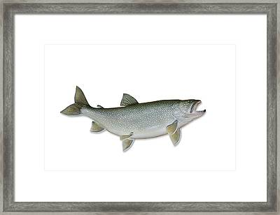 Lake Trout With Clipping Path Framed Print by Georgepeters