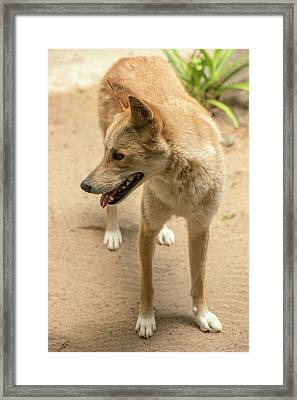Framed Print featuring the photograph Large Australian Dingo Outside by Rob D