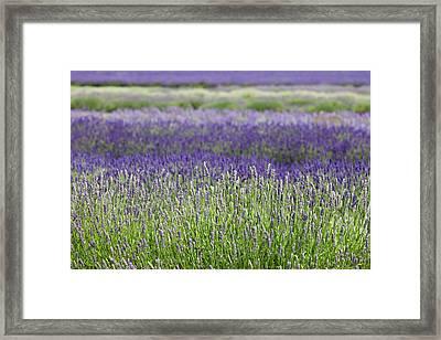 Lavender Framed Print by Andrew Dernie