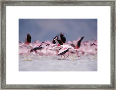 Lesser Flamingo Phoenicopterus Minor Framed Print by Tim Fitzharris/ Minden Pictures