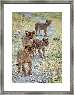 Framed Print featuring the photograph Lion Cubs On The Trail by John Rodrigues