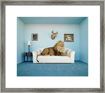 Lion Lying On Couch, Side View Framed Print