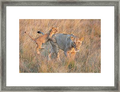 Framed Print featuring the photograph Lioness And Cub by John Rodrigues