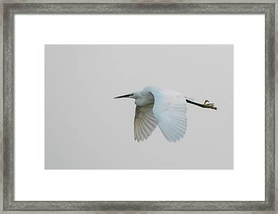 Little Egret Evening Flght Framed Print