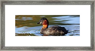 Framed Print featuring the photograph Little Grebe In Pond by Grant Glendinning