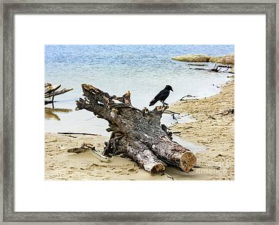 Lone Carmel Crow Atop Driftwood Framed Print