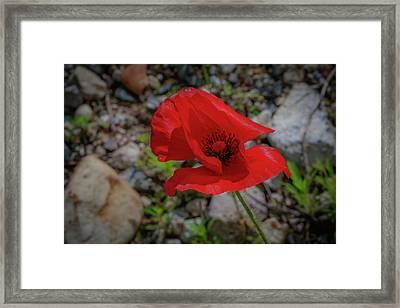 Lone Red Flower Framed Print