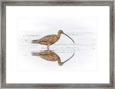 Long-billed Curlew Framed Print