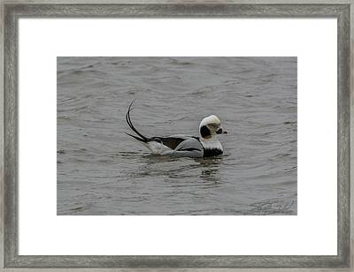 Long Tailed Duck Framed Print