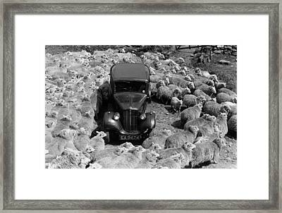 Lost In Sheep Framed Print by Grace Robertson