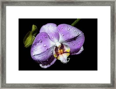 Magenta Phal Framed Print