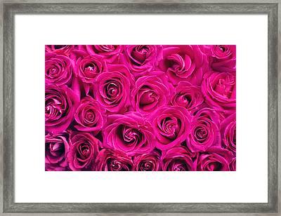 Magenta Roses Framed Print