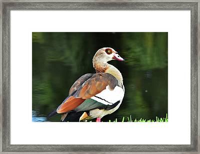 Male Egyptian Goose Framed Print