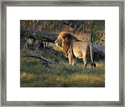Male Lion In Botswana Framed Print