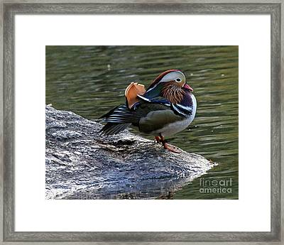 Framed Print featuring the photograph Mandarin Duck 1 by Patricia Youngquist