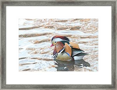 Framed Print featuring the photograph Mandarin Duck 11 by Patricia Youngquist