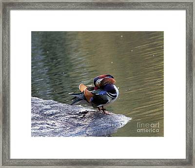 Framed Print featuring the photograph Mandarin Duck 3 by Patricia Youngquist