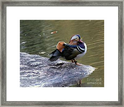 Framed Print featuring the photograph Mandarin Duck 4 by Patricia Youngquist
