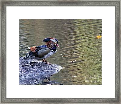 Framed Print featuring the photograph Mandarin Duck 5 by Patricia Youngquist