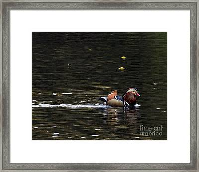 Framed Print featuring the photograph Mandarin Duck 7 by Patricia Youngquist